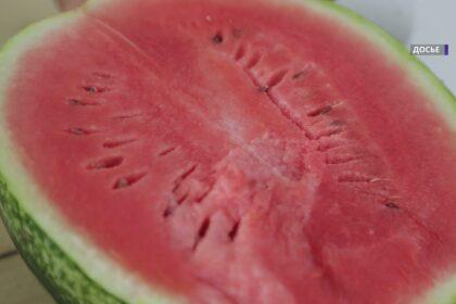 Самаркандская область: фермер вырастил арбуз весом в 50 кг